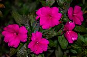 Pink Impatiens Vertical In Garden