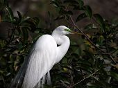 Breeding Male Great Egret