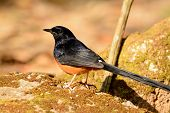 Male White Rumped Sharma (copsychus Malabaricus)