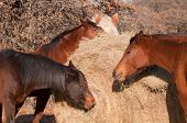 Closeup of horses eating hay off a round bale
