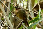 White-browed Laughingthrush(pterorhinus Sannio)