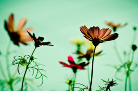 foto of cosmos flowers  - cosmos flowers in sunset time on background  - JPG