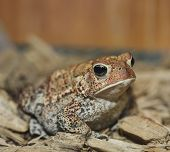 European Toad,Close Up Shot