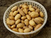 fresh harvested yellow potato tubers picked in plastic basket