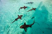 Nurse sharks swimming in tropical ocean water