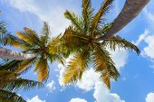 Coconut palms against blue sky perspective view