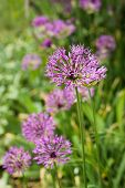Allium flower (wild onion)
