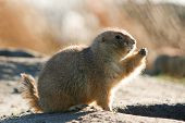 Prairie Dog Watchful