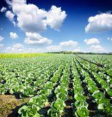 Cabbage plantation