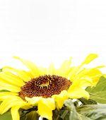 Closeup of sunflower on plain background