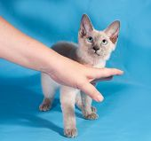 Curly Small Cornish Rex Kitten With Blue Eyes On Blue