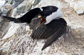 Antarctic Blue-eyed Cormorant Sitting On A Nest With Open Beak