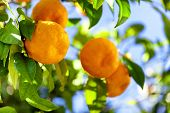 pic of tangerine-tree  - Ripe tangerines on a tree branch - JPG
