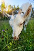 Goat chews a fresh green grass