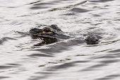 Closeup Picture Of Hunting Cayman In Water, Everglades National Park, Usa.
