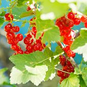 Red Currant Berries Close Up On Green Bush