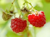 Two Ripe Red Raspberry Berries Close Up