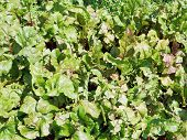 Green Foliage Of Beet In Garden