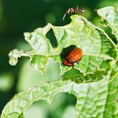 stock photo of larva  - ten-lined potato beetle larva eating potatoes leaves in garden