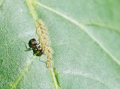 Ant Extracting Honeydew From Aphids