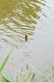 Fished Small Bream Hanging On Fishing Hook