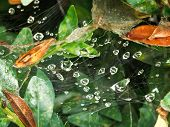 Rain Drops On Cobweb Between Boxwood Leaves