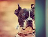 a cute boston terrier at a local park on a hot sunny day toned with a retro vintage instagram filte
