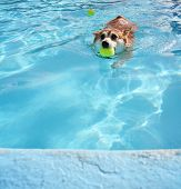 a corgi swimming at a local pool with a tennis ball