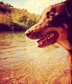 a doberman pinscher out enjoying nature at a river toned with a retro vintage instagram filter