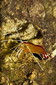 Scarlet Skunk Cleaner Shrimp In Aquarium