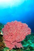 Pink Soft Corals