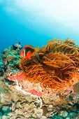 Clownfish On A Coral Reef