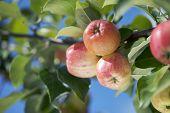 Apples growing in a tree. Very short depth of field.