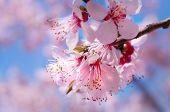 Spring Blossom Apricot