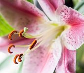 picture of stargazer-lilies  - closeup photo of a nice pink stargazer lily - JPG