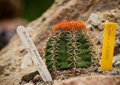 Melocactus Mantazanus