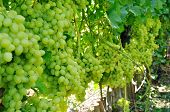 Plantation Of Green Grape