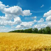 golden harvest and clouds in blue sky