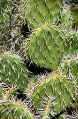Closeup detail of a spiny cactus growing in the desert region of the Caribbean island of Aruba