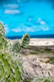 Spiny cactus growing on the seashore in Aruba perfectly adapted with their leafless stems to the ari