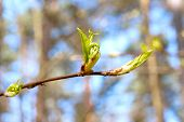 First Spring Young Leaves On Blue Sky Background. Outdoors Closeup.