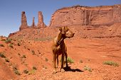 image of vizsla  - pure breed vizsla dog standing in the red sand of Monument Valley