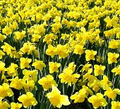Outdoor Shot Of Yellow Daffodils In A Nicely Full Flowerbed
