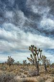 Joshua Trees with Cloudy Sky