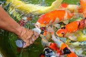 Feeding Carp Fish
