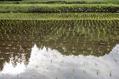 Paddy field with bank