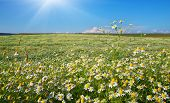 Daisy meadow. Composition of nature.
