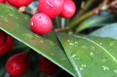 Red berries in the rain