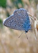 Butterfly Blue Lycaenidae At The Ripe Oats