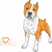 image of american staffordshire terrier  - sketch of the dog American Staffordshire Terrier breed - JPG